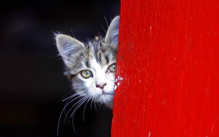 ¿Toxoplasmosis? No les eche la culpa a los gatos
